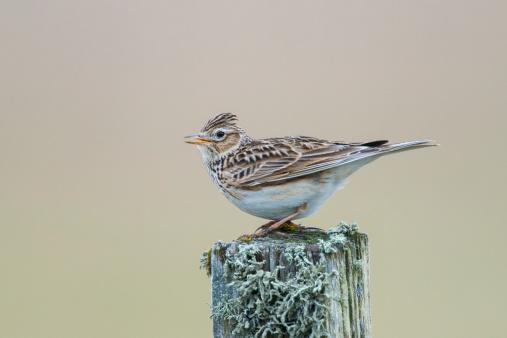 Wooden Post「Skylark singing, North Uist, Hebrides」:スマホ壁紙(12)