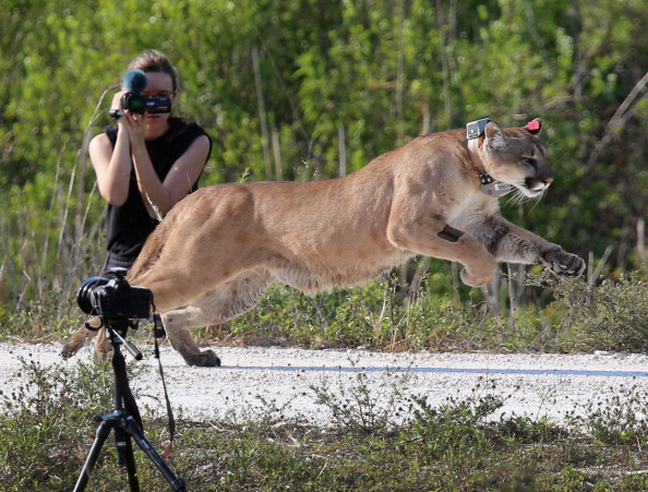 animal「Florida Wildfire Biologists Release Panther Into The Wild」:写真・画像(16)[壁紙.com]