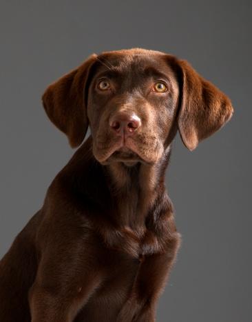 Labrador Retriever「Sad dog」:スマホ壁紙(12)