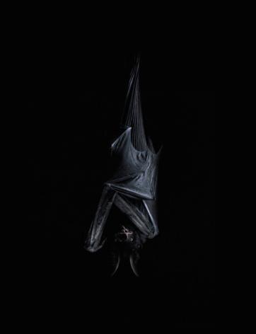 bat「Bat hanging upside down」:スマホ壁紙(19)