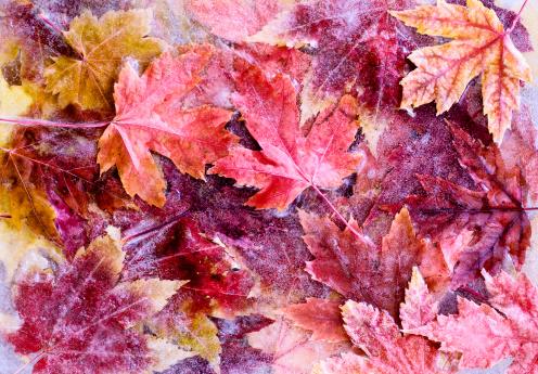 かえでの葉「冷凍秋の葉」:スマホ壁紙(13)