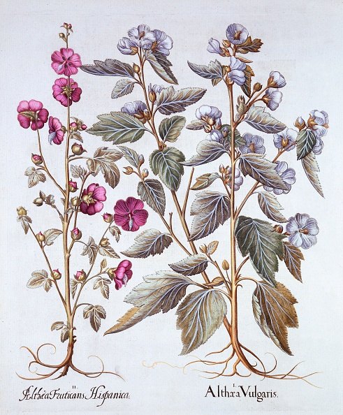 Basil「Two Mallow Varieties」:写真・画像(8)[壁紙.com]