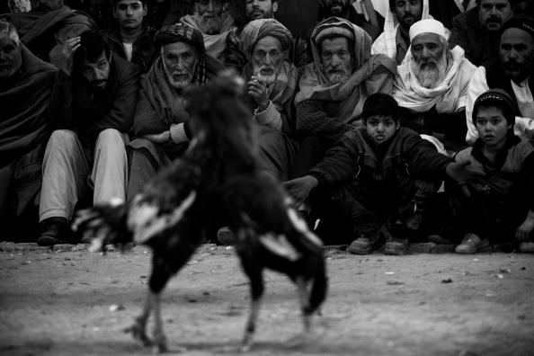 Monochrome「Afghan Cock Fighting Makes Resurgence After Taliban Rule」:写真・画像(9)[壁紙.com]