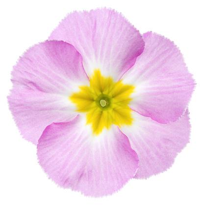 Uncultivated「Primula.」:スマホ壁紙(2)