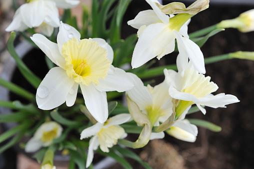 ナルキッソス「Narcissus またはダファデル」:スマホ壁紙(5)