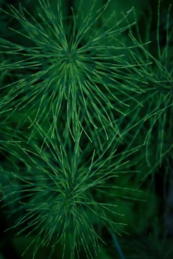 Shallow「Wood Horsetail, Waldschachtelhalm (Equisetum Sylvaticum) leaf」:スマホ壁紙(1)