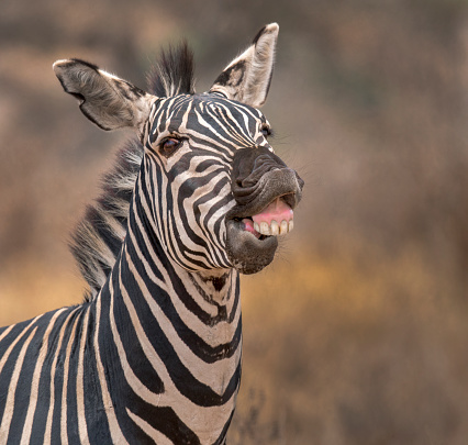 Ngorongoro Crater「Zebra」:スマホ壁紙(17)