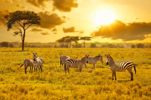 Animals In The Wild「Zebra」:スマホ壁紙(13)