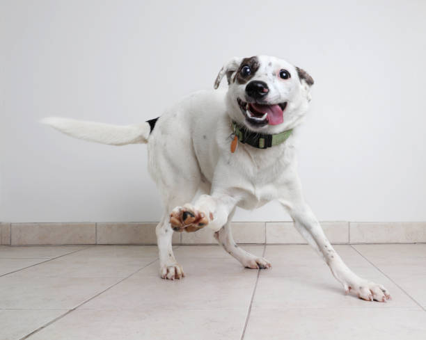 Energetic Australian Cattle Dog mixed breed dog hoping to be adopted:スマホ壁紙(壁紙.com)