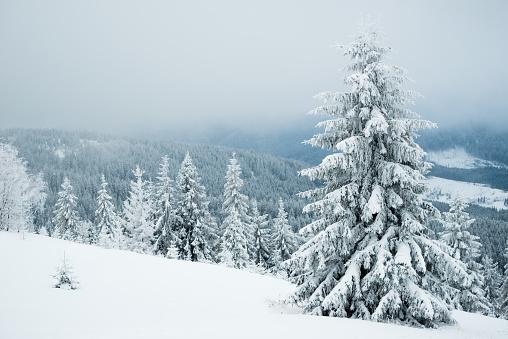 松の木「霧の漂う冬のファーのマウンテン」:スマホ壁紙(19)