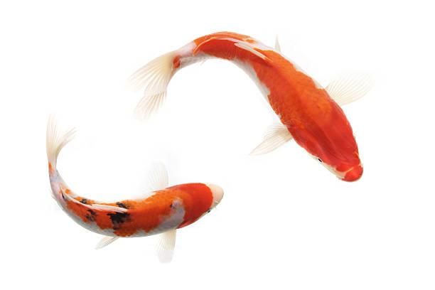 Gold fish:スマホ壁紙(壁紙.com)