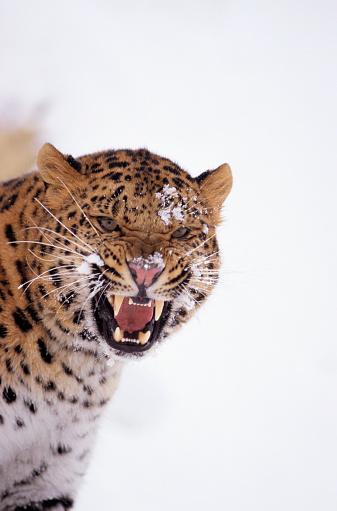 Warning Behavior「Snarling Amur Leopard」:スマホ壁紙(5)