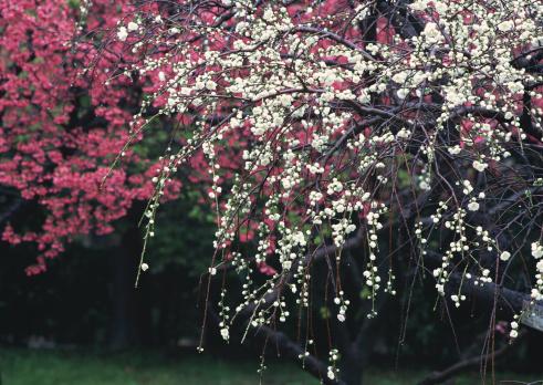 梅の花「Blossom」:スマホ壁紙(12)