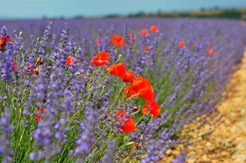 赤「Poppies in a lavender field, Provence, France」:スマホ壁紙(13)