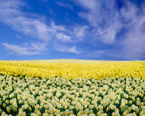 水仙「Daffodils の下、ブルースカイ」:スマホ壁紙(7)
