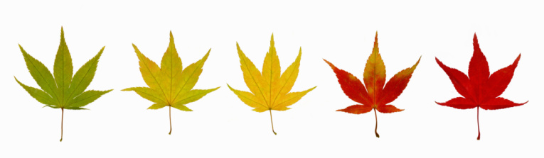 Japanese Maple「Five autumnal maple leaves in row.」:スマホ壁紙(3)