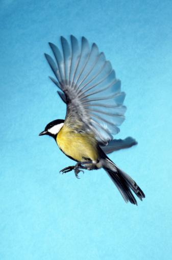 鳥「great tit」:スマホ壁紙(0)