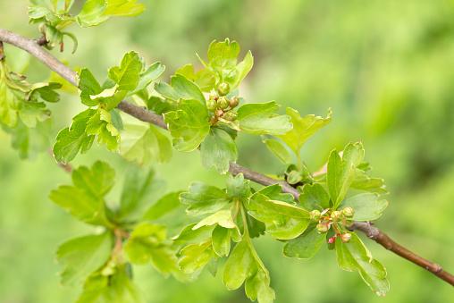 Hawthorn「Buds of hawthorn」:スマホ壁紙(11)