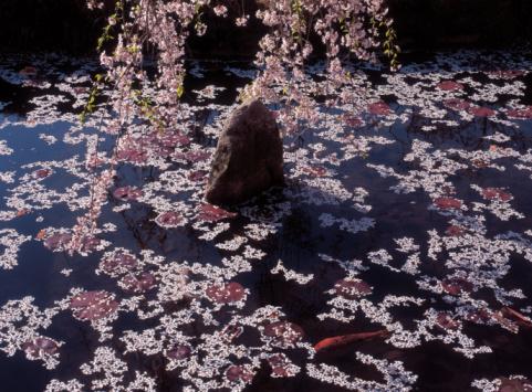 Carp「Petals floating on fish pond」:スマホ壁紙(18)