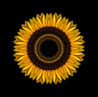 ひまわり「Sunflower Mandala」:スマホ壁紙(0)