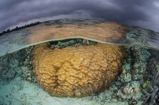ソロモン諸島「A large boulder coral colony grows in shallow water in the Solomon Islands.」:スマホ壁紙(7)
