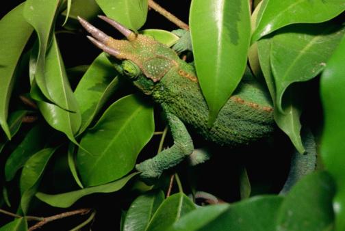 Arboreal Animal「Chameleon hiding」:スマホ壁紙(18)