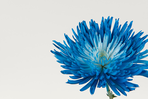 Chrysanthemum「Blue Mum on Right Side; White Background」:スマホ壁紙(5)