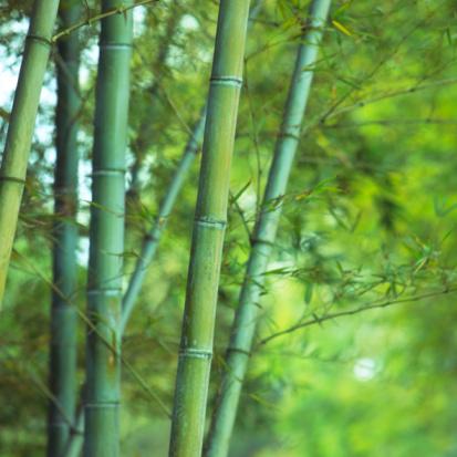 Grove「Asian Bamboo forest」:スマホ壁紙(1)