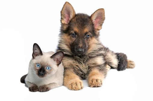 シャムネコ「猫と犬」:スマホ壁紙(9)