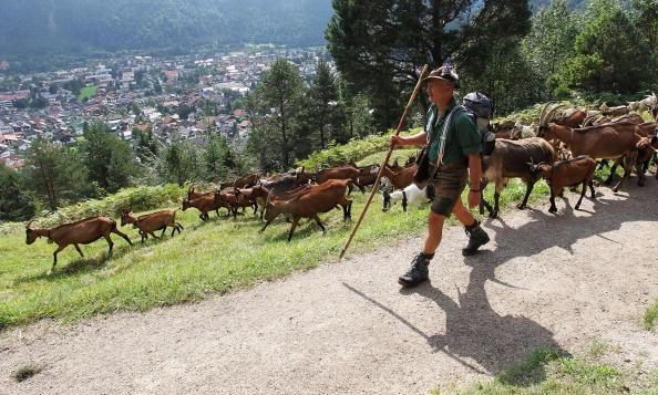 Vertebrate「Ceremonial Goat Drive In Bavarian Mountains」:写真・画像(11)[壁紙.com]