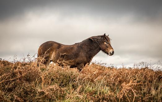 Stallion「Exmoor Pony」:スマホ壁紙(18)