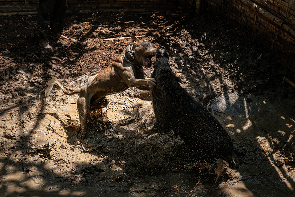 Wild Boar「Indonesian Villages Pit Dogs Against Wild Boars In The Arena」:写真・画像(5)[壁紙.com]