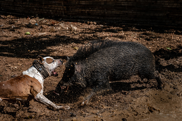 Wild Boar「Indonesian Villages Pit Dogs Against Wild Boars In The Arena」:写真・画像(3)[壁紙.com]