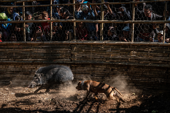 Wild Boar「Indonesian Villages Pit Dogs Against Wild Boars In The Arena」:写真・画像(17)[壁紙.com]