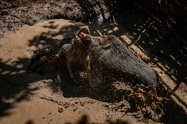 Wild Boar「Indonesian Villages Pit Dogs Against Wild Boars In The Arena」:写真・画像(8)[壁紙.com]