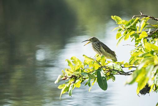 Sri Lanka「An Indian Pond Heron sitting on a branch over a lake」:スマホ壁紙(0)