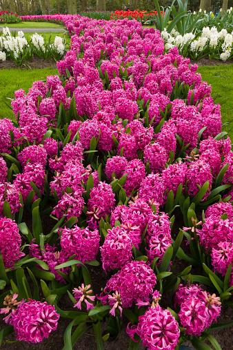 Keukenhof Gardens「Pink Hyacinths in full bloom.」:スマホ壁紙(2)