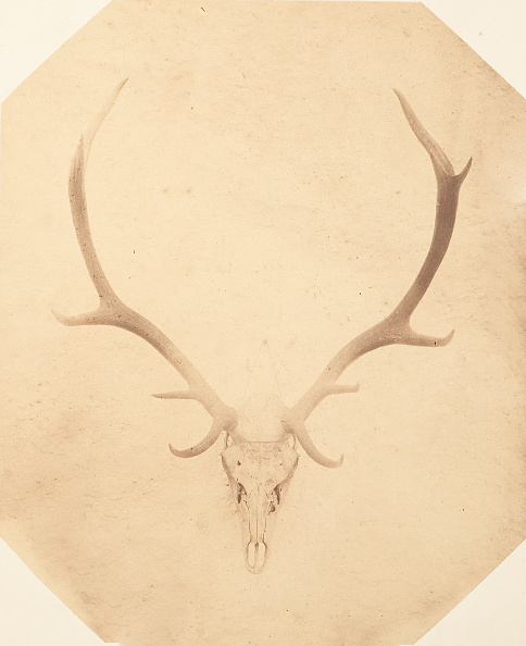 Animal Body Part「Stag Trophy Head」:写真・画像(0)[壁紙.com]