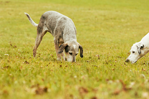 Animals Hunting「Two dogs on meadow sniffing」:スマホ壁紙(7)