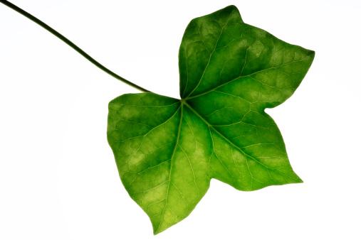 Ivy「Ivy leaf (Hedera helix), close-up」:スマホ壁紙(8)