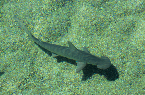Shallow「Bonnethead shark (Sphyrna tiburo) underwater, Bahamas, West Indies」:スマホ壁紙(13)