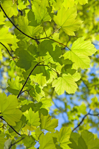 セイヨウカジカエデ「Fresh spring sycamore (Acer pseudoplatanus) leaves against a clear blue sky, low angle view」:スマホ壁紙(18)