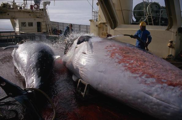 Japan「Japanese Whaling」:写真・画像(10)[壁紙.com]
