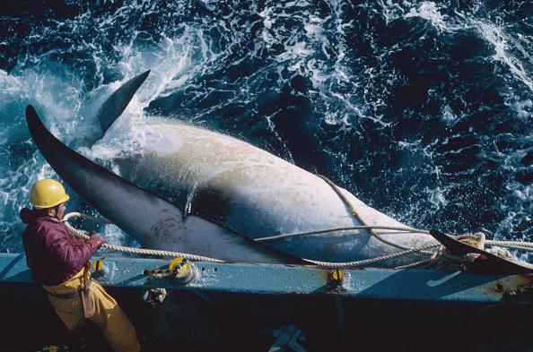 Whale「Japanese Whaling」:写真・画像(1)[壁紙.com]