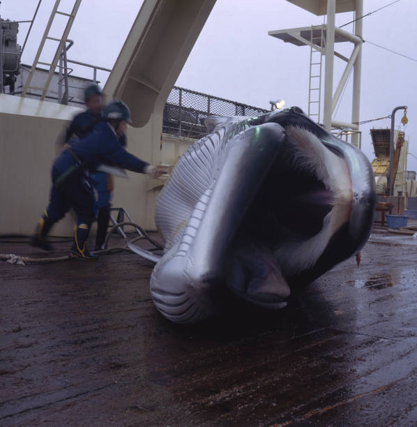 Japanese Whaling:ニュース(壁紙.com)