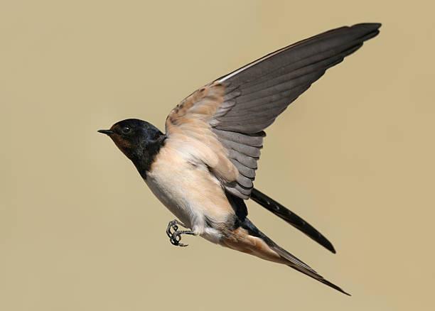 Swallow:スマホ壁紙(壁紙.com)