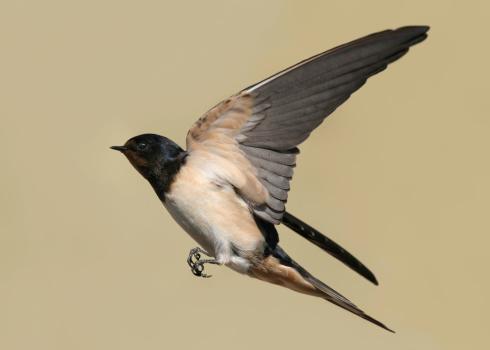 Birds「Swallow」:スマホ壁紙(2)