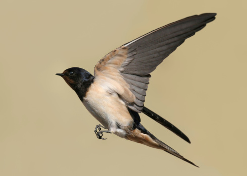 Songbird「Swallow」:スマホ壁紙(0)
