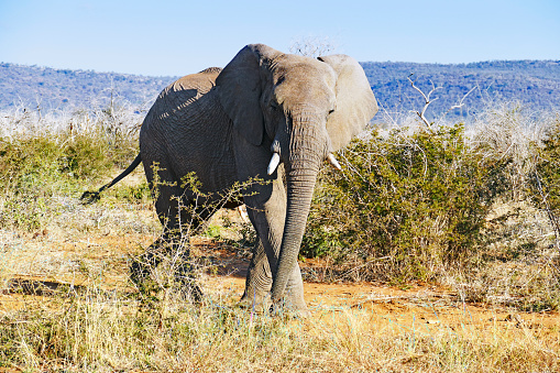 The Nature Conservancy「African elephant walking  in the bushes and looking at the camera in the Madikwe Game Reserve in South Africa」:スマホ壁紙(10)