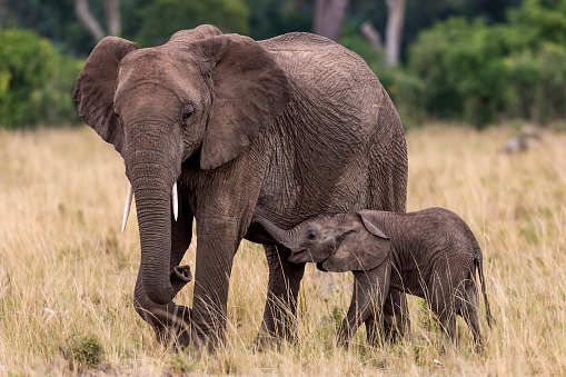 Animal Family「African elephant baby suckling grazing mother.」:スマホ壁紙(15)
